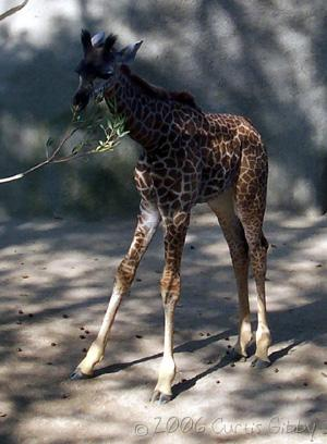 Cruise - A baby giraffe we saw at the San Diego Zoo