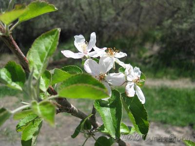 The spring blossoms on our apple tree